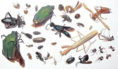 35 Mojave Desert Insects From 2018 - Cricket Hunter, Plus Many Small Specimens