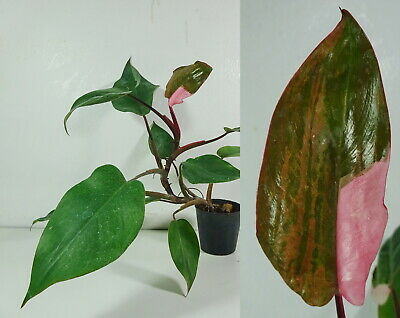 Rare, Philodendron Pink Princess colorful variegated leaves