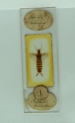 Antique MICROSCOPE Slide FEMALE EARWIG Forficula auricularia. by HWH Darlaston