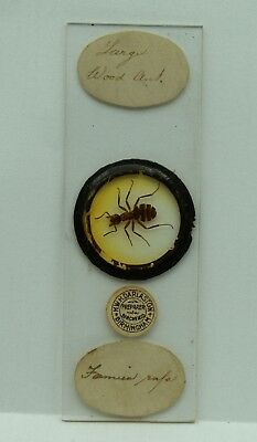 Antique MICROSCOPE Slide LARGE WOOD ANT by HWH Darlaston