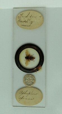 Antique MICROSCOPE Slide Spittlebug APHROPHORIAS by HWH Darlaston