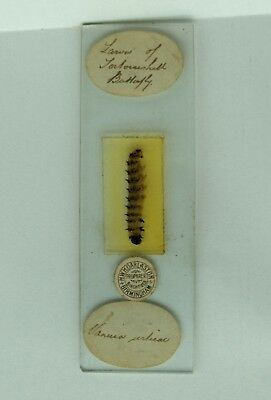 Antique MICROSCOPE Slide TORTOISESHELL BUTTERFLY LARVAE by HWH Darlaston