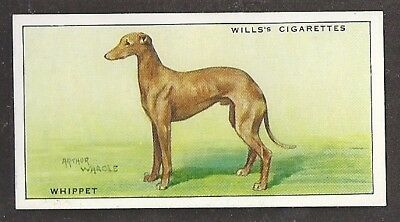 Rare 1937 UK Arthur Wardle Dog Art Full Body Study Wills Cigarette Card WHIPPET