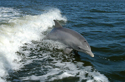 """stunning oil painting handpainted on canvas """" Dolphin"""""""