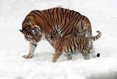 """stunning oil painting handpainted on canvas """" two tigers in the snow"""""""