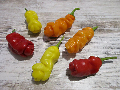 Peter Piper Penis Pepper Chilli Willy Collection 3 Colours In One Deal 15 Seeds