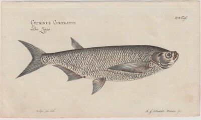 """1785 Fine Marcus Bloch Engraving - """"The Sabre Carp"""" - Foundation of Fish Science"""