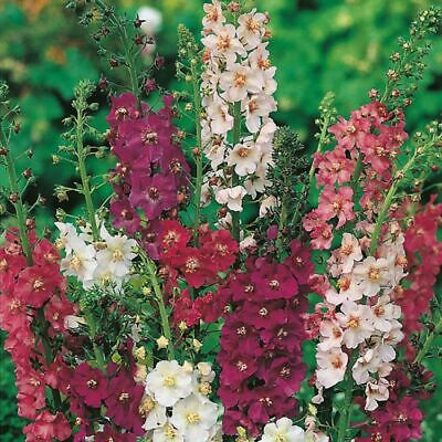 Verbascum Phoeniceum Mixed -  0.6 Gram ~ Approx 4800 Finest Seeds