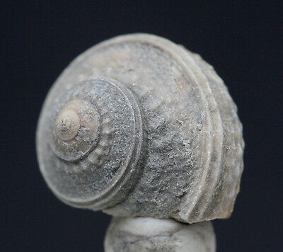 Fossil Snail Sea Shell Gastropod Specimen TEXAS w/ Display Case & ID Card