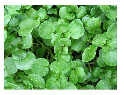 Organic Watercress Nasturtium Officinale  0.5 Gram ~ Approx 2300 Seeds