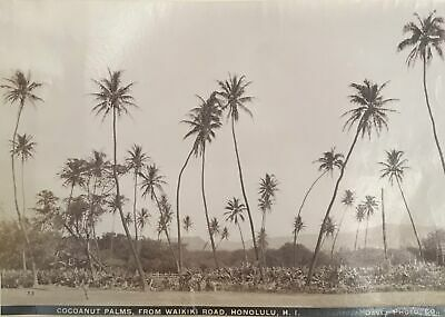 1880's Vintage Albumen Photograph By Davey Of Coconut Palms From Waikiki Road