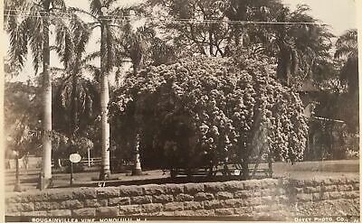 1880's Vintage Albumen Photograph By Davey Of Bougainvillea Honolulu Hawaii