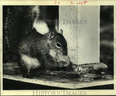 1970 Press Photo Squirrel eats Girl Scout cookie by Houston home - hcx20064