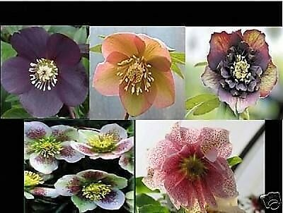 Hellebore Orientalis Superior Hybrids Unique Flowering Forms 20 Seeds Sow Now