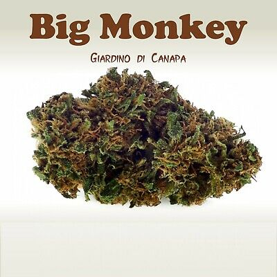 Canapa Erba Sativa 🏆 BIG MONKEY 30 % 10 GRAMMI 🏆CANNA INDOOR Contrassegno €