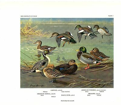 "1960 Vintage ""MALLARD PINTAIL GADWALL WIDGEON 5 DUCKS"" ALLAN BROOKS Lithograph 7"