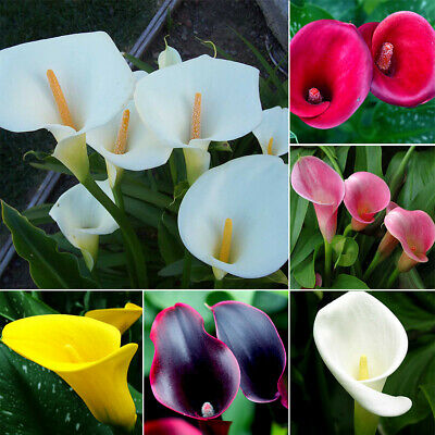 100Pcs Rare Colorful Calla Lily Flower Seeds Home Garden Plants Seed Bonsai