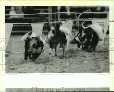 1989 Press Photo Pig races are a favorite at Houston Livestock Show and Rodeo