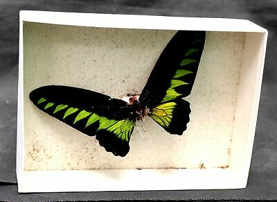 Decorative 'Rajah Brooke's Birdwing' PINNED BUTTERFLY / BOXED - C37