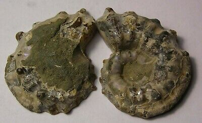 100% Natural Morocco (pair) Ammonite Snail Fossil #21