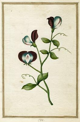 18th CENTURY BOTANICAL STUDY Watercolour SWEET PEA 1782