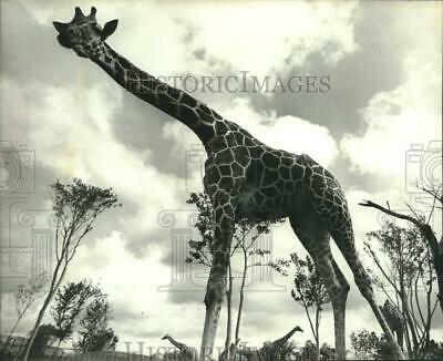Press Photo Giraffe named Colleen at the Miami Metro Zoo - lrx11221