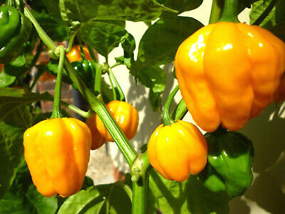 Jamaican Gold Chilli Chili Chile Pepper Seeds