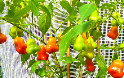 Bishops Crown Chilli Chili Hot Pepper Seeds