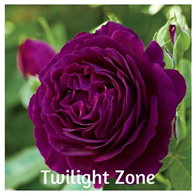 10 Twilight Zone Hybrid Grandiflora Rose Seeds