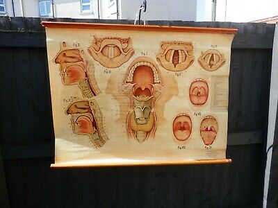 Early Vintage Adam Rouilly Medical Chart Of The Larynx & Pharynx Ref 600C 1950