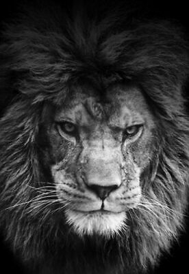 Lion  Wall Art * Large A3 Size Quality Canvas Print