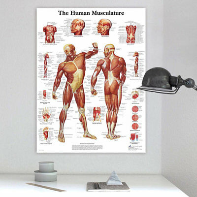 Human Body Muscle Anatomy System Poster Anatomical Chart Educational Poster QQR
