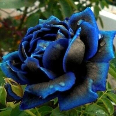 10 graines de Rosier rose BLEU-NOIR / 10x BLUE-BLACK Rose rosebush seeds
