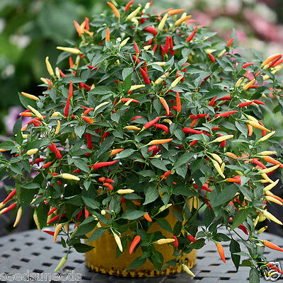 Basket of Fire Chilli Chili Chile Hot Pepper Seeds