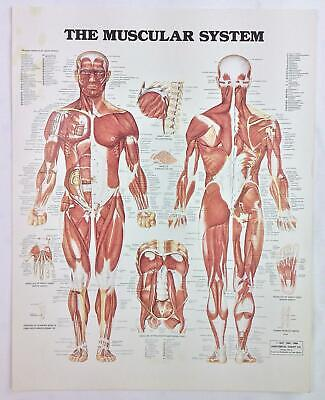 Vintage The Anatomical Chart Series Book Print 1988 The Muscular System
