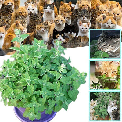 Nepeta Cataria Seeds Catnip Catmint Herb Plant Garden Bonsai Decor 250/500Pcs R
