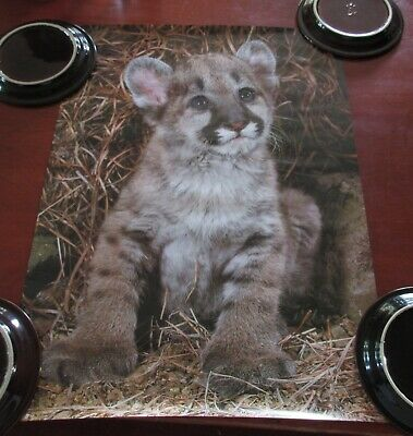 Vintage Wildlife Poster Lithographs 22x16 Mountain Lion Cub #37 Breck Kent