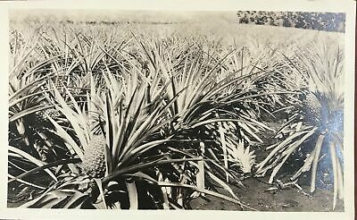 Vintage Photograph Of Pineapples On Oahu Hawaii