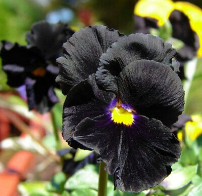 Pansy Clear Crystal Black Viola Wittrockiana - 400 Seeds