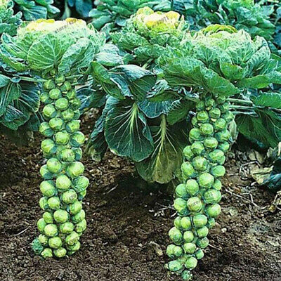 Home Organic Vegetable Brussels Sprouts Cabbage Brassica Oleracea Seeds