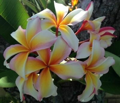"""Auction ~  Rooted Plumeria Tree Plant Cutting  ~ Hawaiian Flag  14"""" With 1 Tip"""