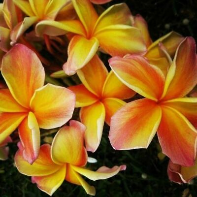"""Auction ~ Rooted Plumeria Tree Plant Cutting ~ Kona Sunset ~ 13"""" With 3 Tips"""