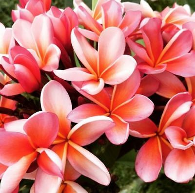 """Auction ~  Rooted Plumeria Tree Plant Cutting ~ Orange Zest ~ 15"""" With 2 Tips"""
