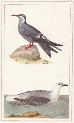 1833 Antique Bird Engravings - Inca Petrel & White-headed Petrel - Rene Lesson