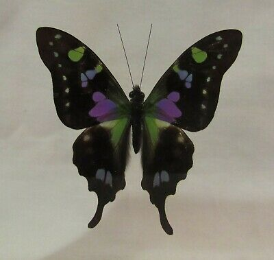 Framed large size colorful Amazonian butterfly - Graphium Weiskei - free ship!