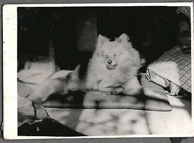 Vintage Photograph 1924 Pomeranian Asian Oriental Dogs Puppies Tokyo Japan Photo