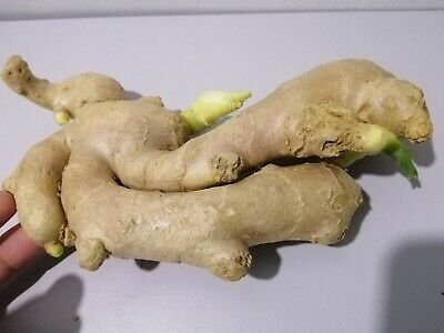 GINGER 3 live rhizomes HOT /& SPICY THAI Zingiber OFFICINALE Ready 2 grow