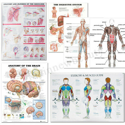 5 Type Human Anatomy Brain Muscles Poster Anatomical Chart Human Body Midcal AU