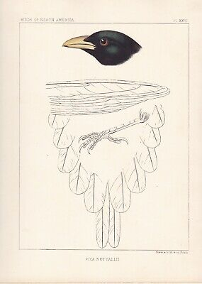 """1860 Antique Engraving - Baird's """"Birds of North America"""" - Yellow-billed Magpie"""