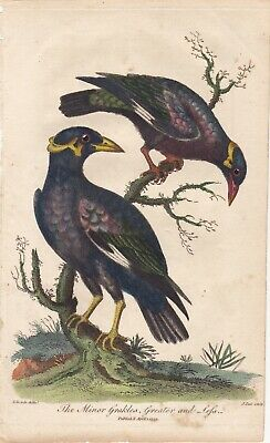 1802 Antique Bird Engraving - Pair of Grackles - George Edwards - Hand Colored